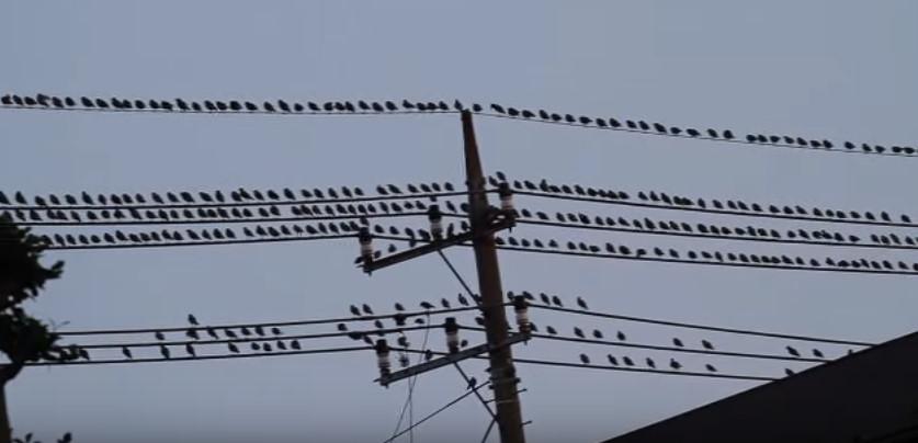 電線とムクドリの群